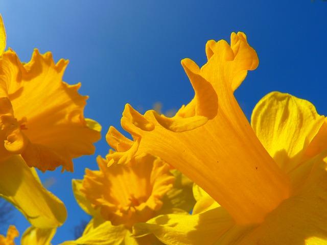Narcissus 6368 640